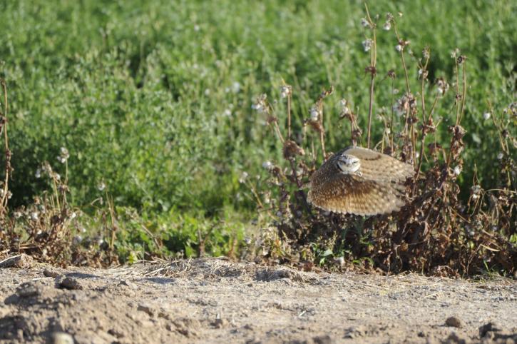 athene, cunicularia, hypugea, owl, burrowing
