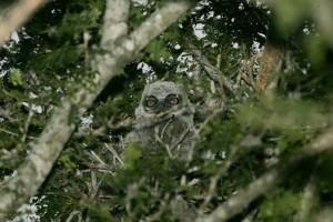 baby, owl, tree
