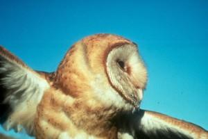 barn, owl, bird, flight