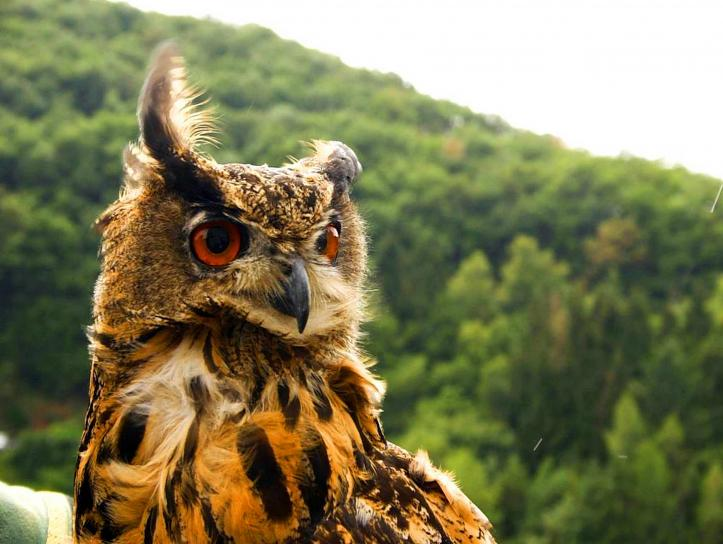 Free Picture Brown Owl Bird
