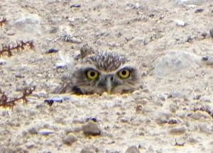 burrowing, owl, athene, cunicularia, nest, burrow, ground