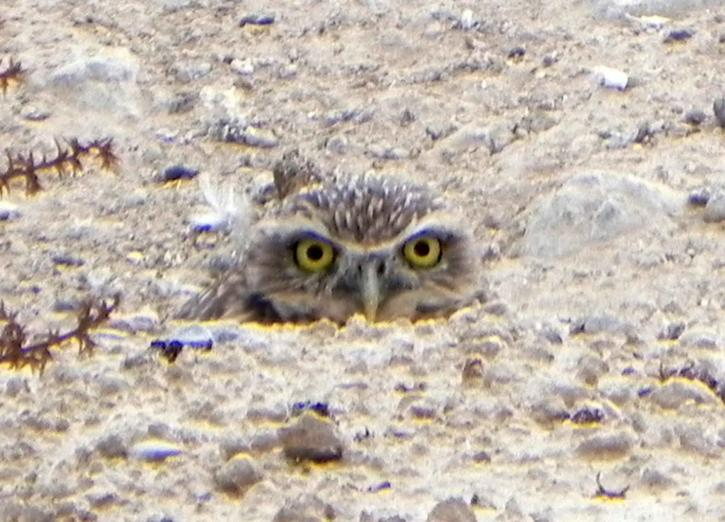Free Picture Burrowing Owl Athene Cunicularia Nest