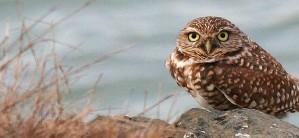 burrowing, owl, bird, athene, cunicularia, hypugea