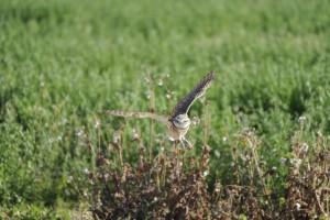 burrowing, owl, flight, athene, cunicularia, hypugea