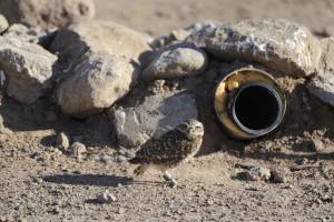 burrowing, owl, outside, artificial, burrow