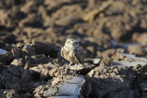 burrowing, owl, rocks