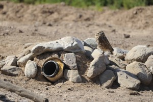 burrowing, owl, outside, one, artificial, burrows