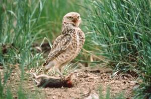 burrowing, owl, distinctive, yellow, eyes, holding, prey