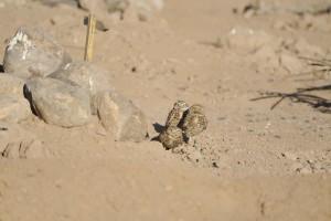 burrowing, owls, birds, ground, athene, cunicularia, hypugea