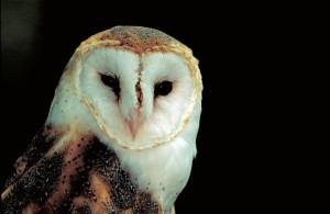 up-close, face, body, barn, owl