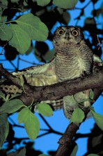 up-close, owl, tree, wings, spread, low, front