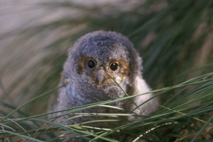 flammulated, owl, bird, otus flammeolus