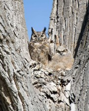 great, horned, owl, chick, tree, bubo, virginianus