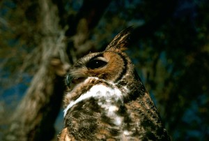 great, horned, owl, bird, wild, head, close