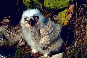 great, horned, owl, chick, nest, bubo virginianus
