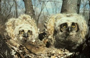 great, horned, owl, chicks, nest