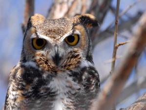 grande, cornuto, gufo, da vicino, testa, uccello, bubo virginianus