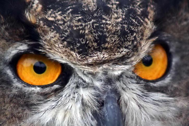 grand, cornu, hibou, yeux, de près, bubon, virginianus