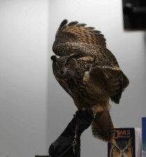 great, horned, owl, part, live, bird, display