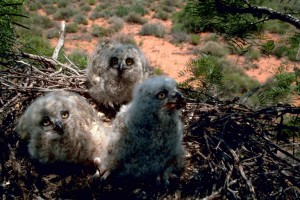 three, horned, owl, chicks, nest