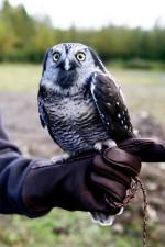 northern hawk, owl, bird