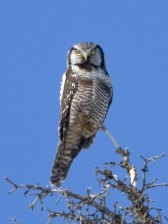 nord falco, gufo, uccello, Surnia, ulula