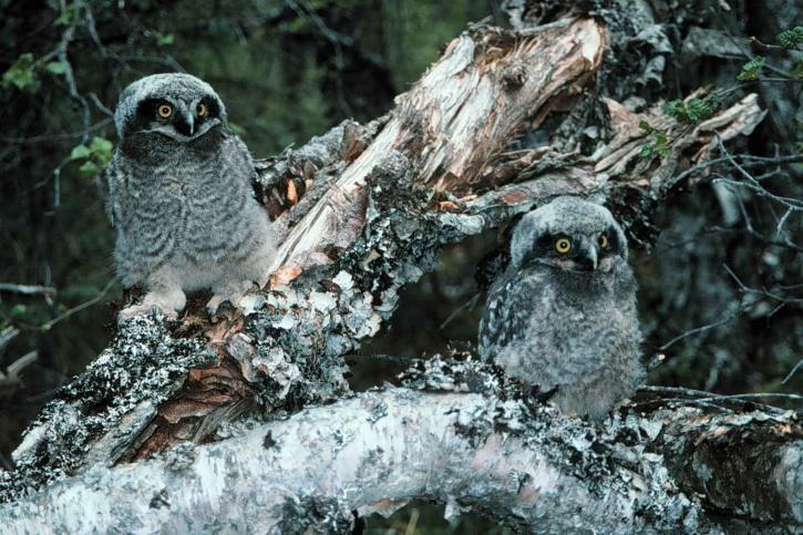 northern hawk, owl, chicks, surnia ulula