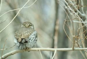 northern pygmy, owl, bird, glaucidium, gnoma