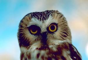 northern saw, whet, owl, bird, aegolius acadicus