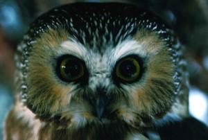 northern saw, whet, owl, bird, up-close, head, aegolius acadicus