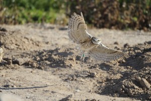 owl, bird, burrowing, owl, athene, cunicularia, hypugea