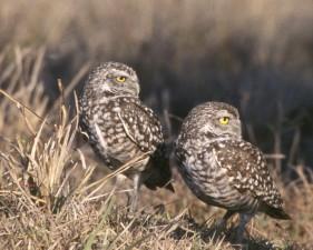 two, burrowing, owls, birds