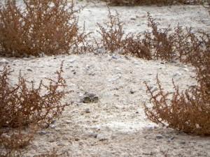 western, burrowing, owl, ground