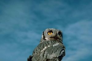 Batı, çığlık, baykuş, kuş, megascops otus kennicottii