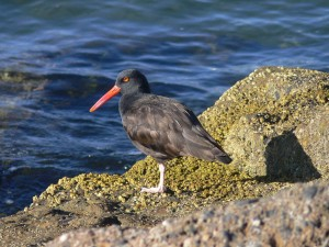black, oystercatcher, standing, large, rock, overlooking, water
