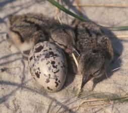 American, oystercatcher, chicks, egg