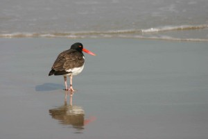 bird, American, oystercatcher, back, bay, wilderness, refuge