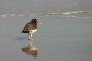 bird, American, oystercatcher, back, bay, wilderness, refuge