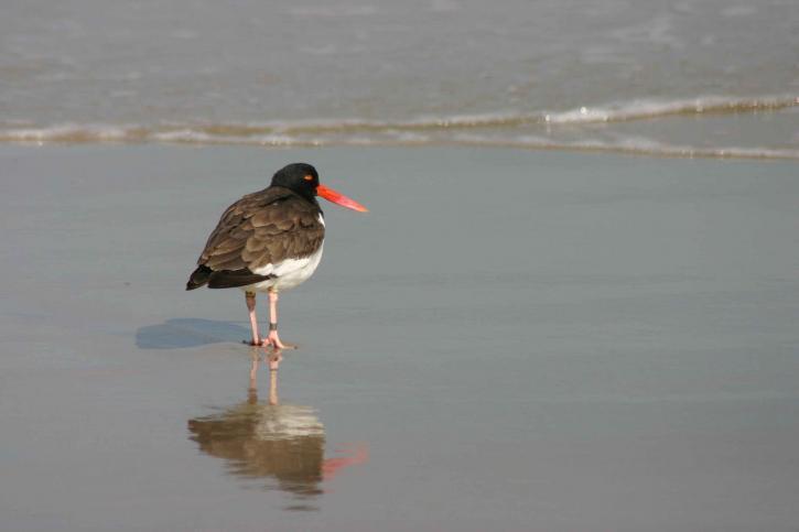 madár, Amerikai csigaforgató, hát, öböl, vadonban, menedéket