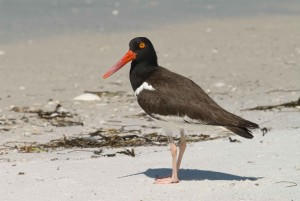 bird, up-close, details, photo, American, oystercatcher