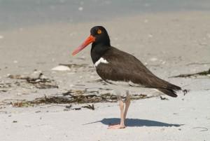 bird, up-close, details, photo, American, oystercatcher