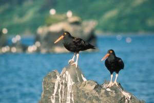 black, oystercatcher, bird, haemus, bachmani