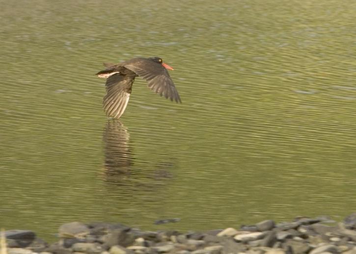 black, oystercatcher, bird, flight