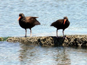 haemus, bachmani, black, oystercatchers, birds, water