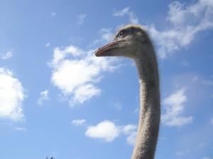 ostrich, bird, struthio camelus