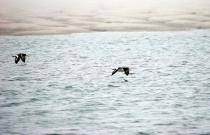 two, American, oystercatchers, flight, ocean, haemus, palliatus
