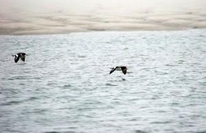 two, American, oystercatchers, flight, ocean, haemus, palliatus