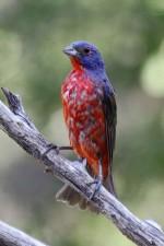 peint, bruant, oiseau, branche, de près, photo, passerina, ciris