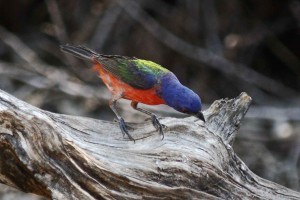 peint, bruant, oiseau, bois flotté, passerina, ciris