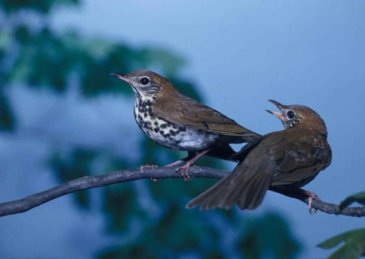 pair, wood, thrushes, songbirds, perching, branch